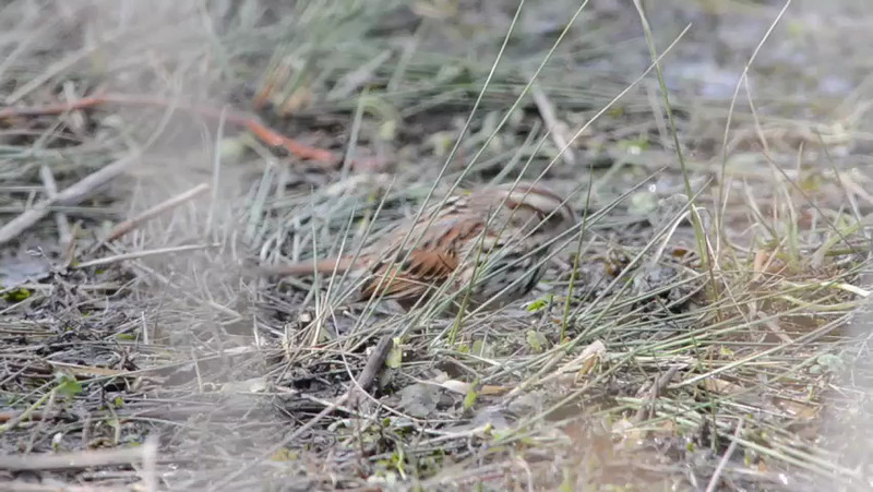 If you ever wondered what a Song Sparrow was doing, frantically darting back and forth . . . you can see it's found a spider of some sort, snatches it, then drops it over and over while trying to chew it up.  This explains so much!