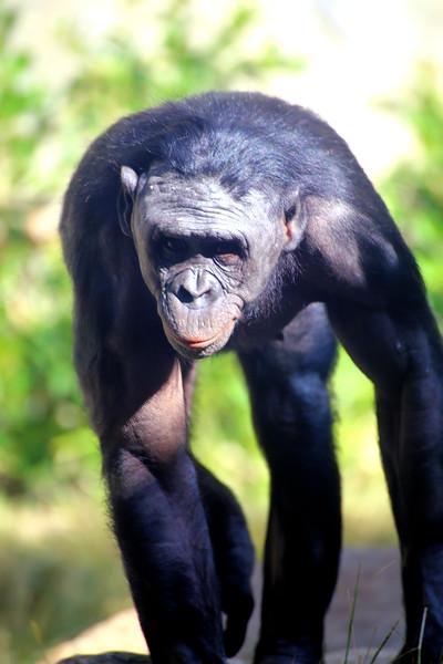Muscular Chimpanzee.jpg