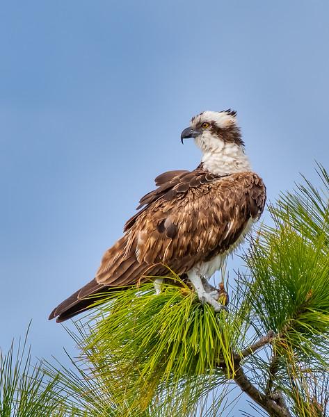 Osprey Lookout - Score 23