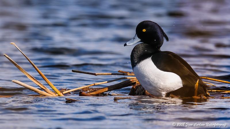 Troldand (Aythya fuligula - Tufted Duck)