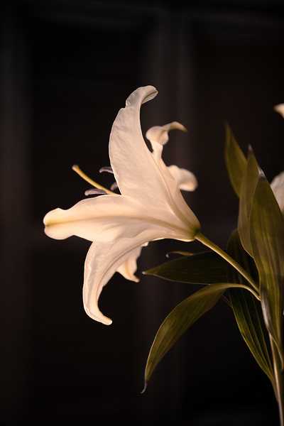 White Lily back