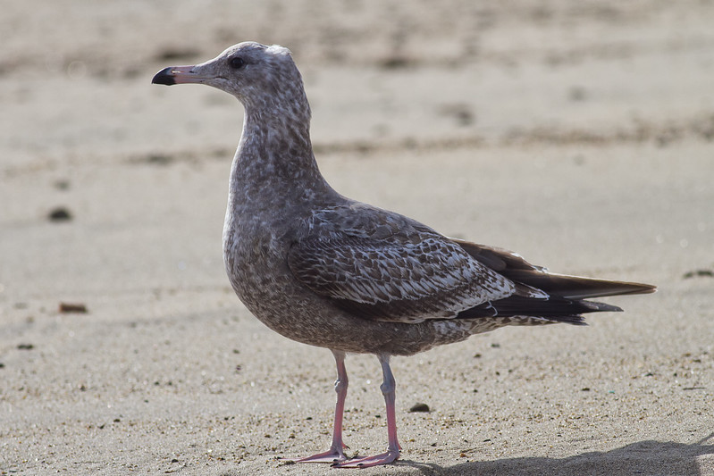 """California Gull - Juvenile / First cycle: Note the grayish """"new"""" feathers, Pink legs turning dirty above the knee, bill dipped in black ink"""