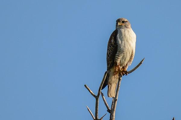 6 2013 Jun 1 Ferruginous Hawk