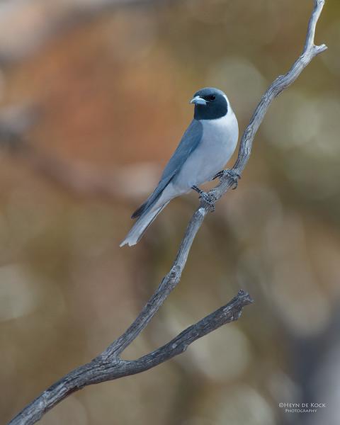 Masked Woodswallow, Gluepot, SA, Aus, Nov 2014-3.jpg