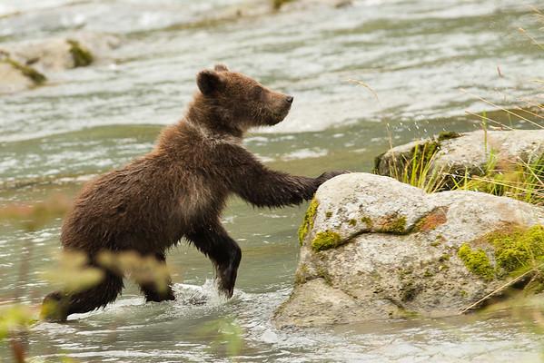 Bears - Haines, Ak
