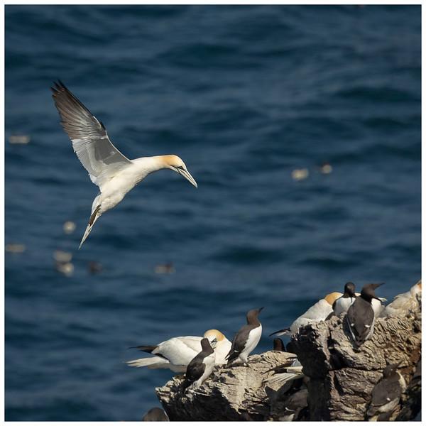 Gannet breeding site