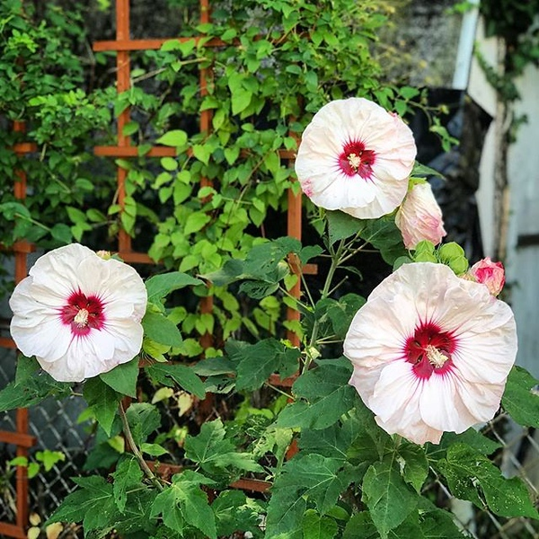 """We have three hibiscus of different sizes and styles. I'm sure hibiscus is the same """"gumamela� in the Philippines but of a different specie. I still hardly know much about their growth habits but they are all surviving well into their second year. I thoug"""