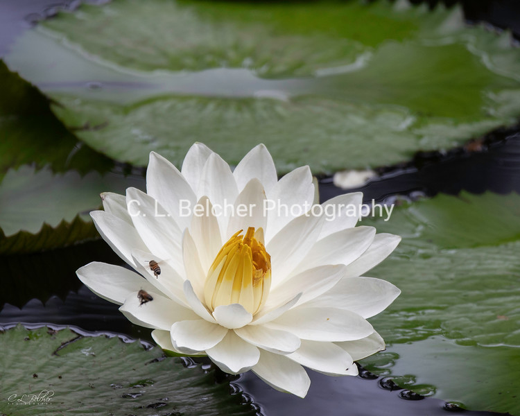 water lily and bees