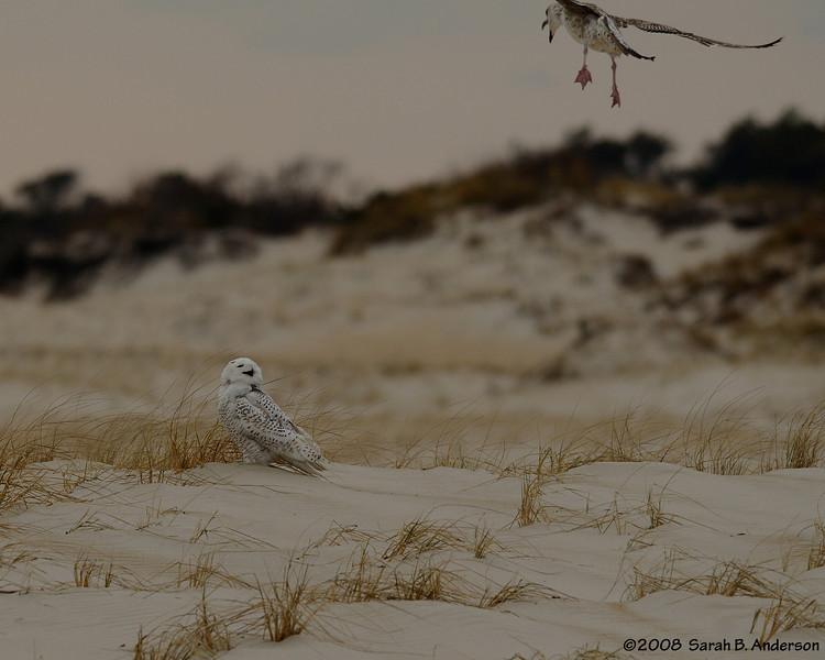 Snowy owl and harrassing gull Assateage Island National Seashore, Maryland December 2008