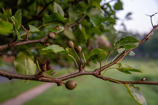 Bradford Pears for the Washington Post