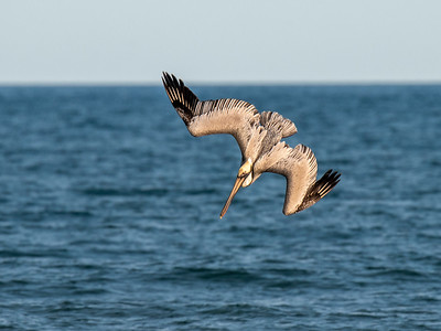 Feb. 2, 2020 - Brown Pelican Diving