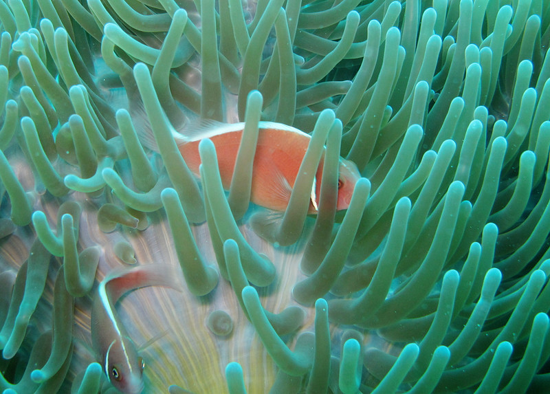 IMG_7477Ar_Pink anemonefish (Amphiprion perideraion).JPG