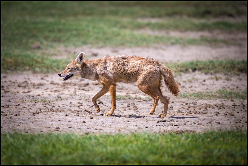 Golden jackal, Ngorongoro Conservation Area