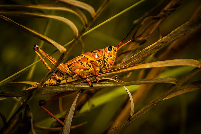 Grasshoppers 8.jpg