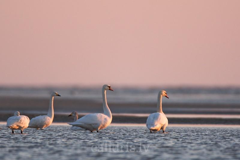 Bewick's swans / Mazie gulbji