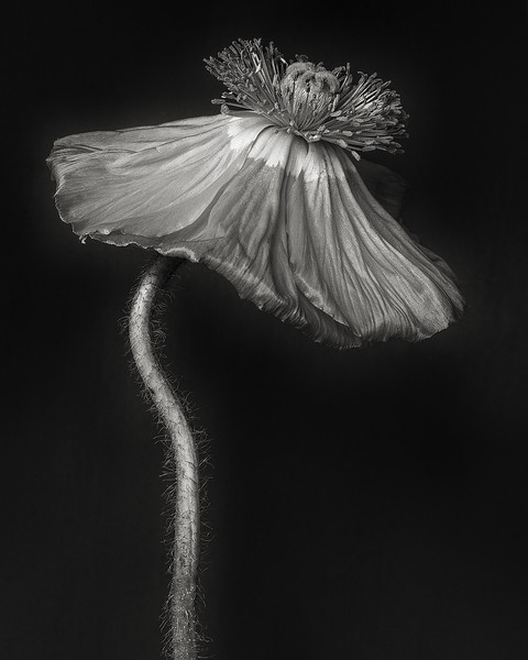 poppy-01-april.jpg