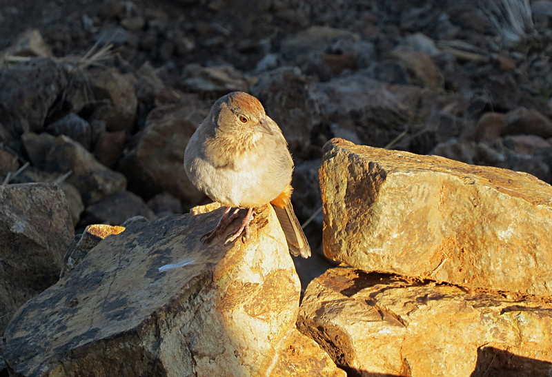 Canyon Towhee morning on rock2.jpg