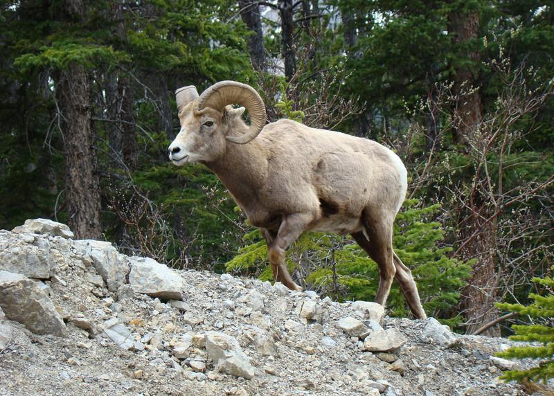 BIGHORN SHEEP - BANFF