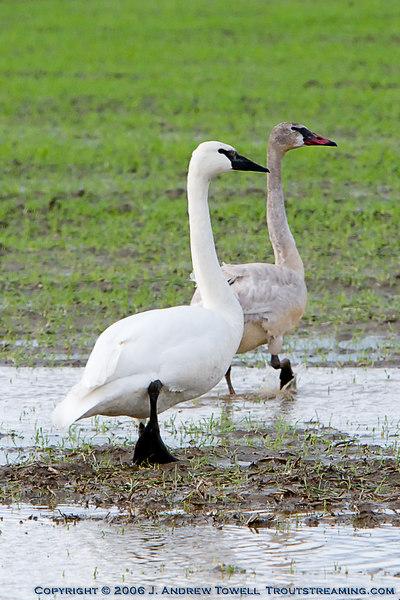 Fir Island Birding 060111