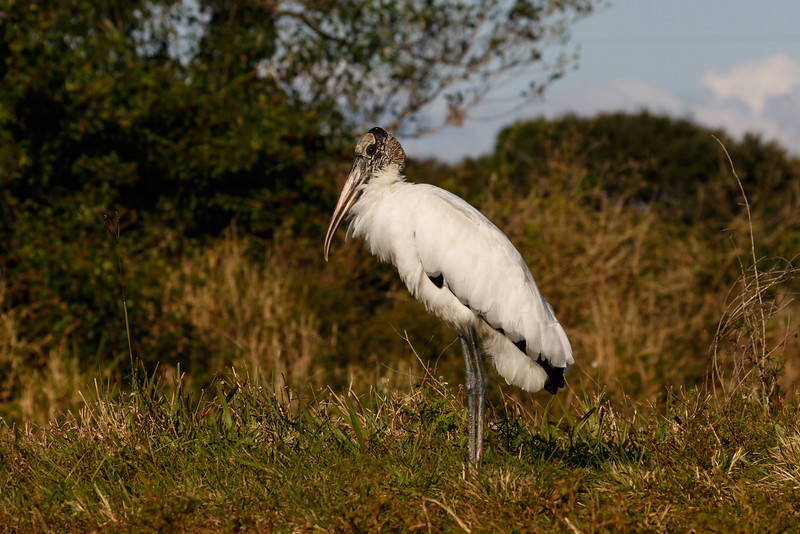 Wood Stork-8506.jpg