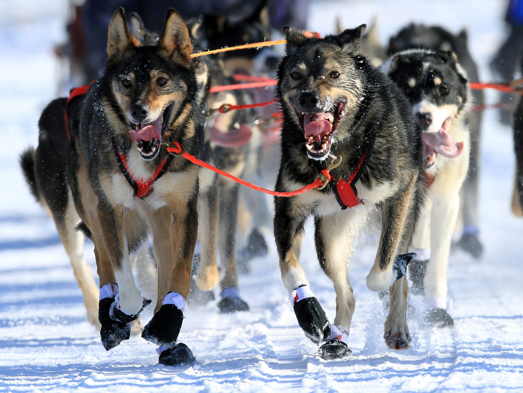 . Lead dogs on the team of Louie Ambrose run during the ceremonial start of the Iditarod Trail Sled Dog Race Saturday, March 2, 2013, in Anchorage, Alaska. The competitive portion of the 1,000-mile race is scheduled to begin Sunday in Willow, Alaska. (AP Photo/Dan Joling)