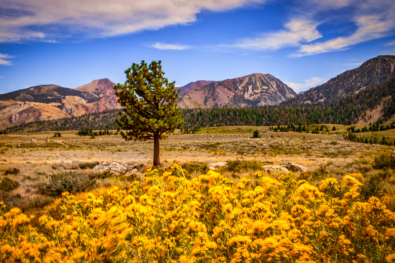 August 30 - Tree in a bed of yellow at the base of the Sherwin Mountains.jpg