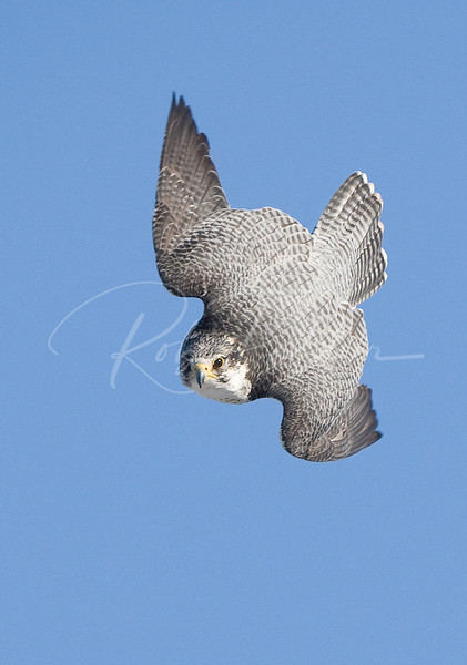 Hybrid Gyr-Peregrine falcon diving