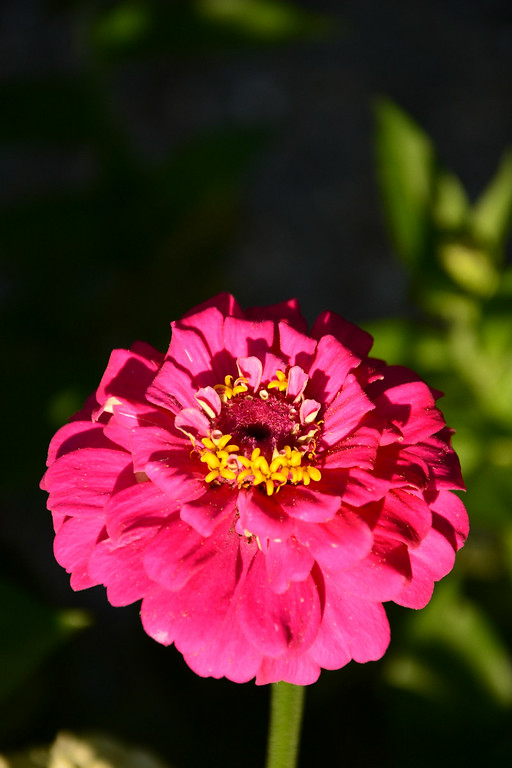 . PHOTO PETE BANNAN- Terry Spadoni grows zinnis in her West Chester row home garden.