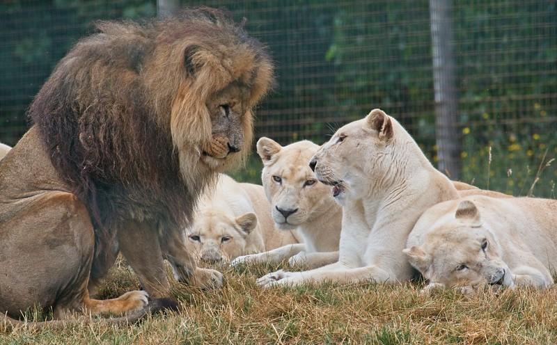 Big Cat Sanctuary (White Lions)
