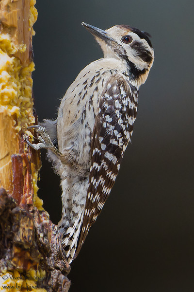 Ladder-backed Woodpecker - Female - Ash Canyon B&B, Hereford, AZ, USA