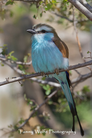 Roller, Racket-tailed