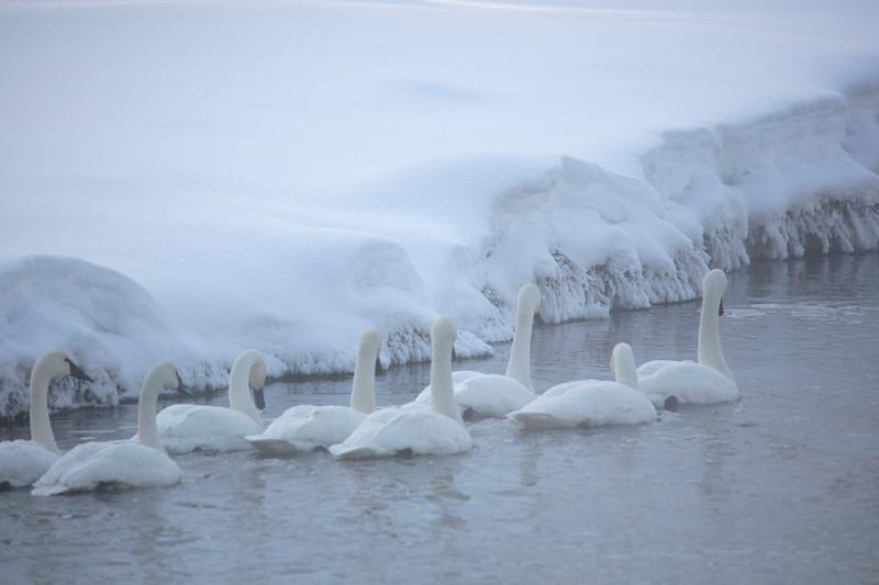387A9704 Swans white on white.jpg