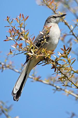 Mockingbird, Northern