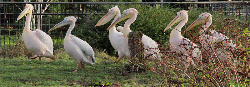 March of the Pelicans