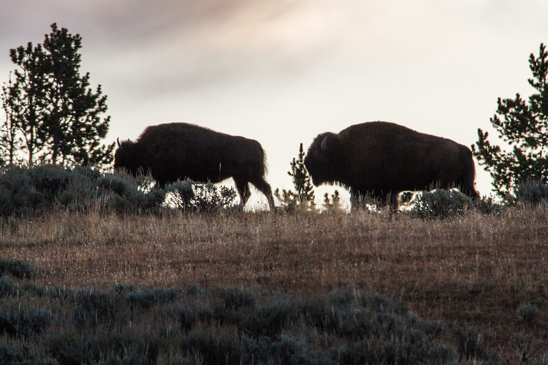 Bison in the Hayden Valley at sunrise