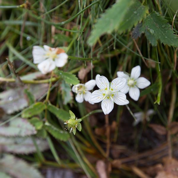 rifugio alpe corte, rifugio laghi gemelli, parnassia palustris