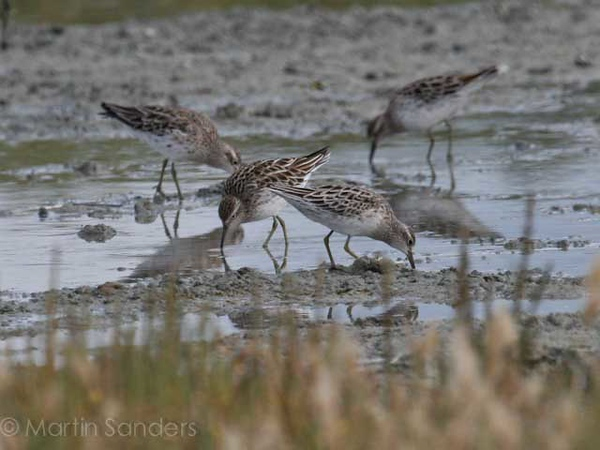 Plovers and Sandpipers
