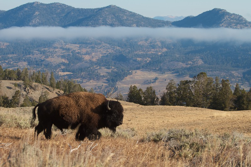 Bison Yellowstone N.P. WY IMG_0068835.jpg