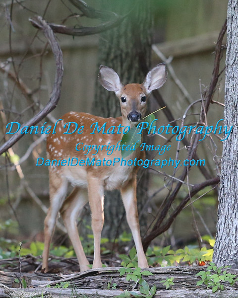 Whitetail fawns in my back yard 8-14-14