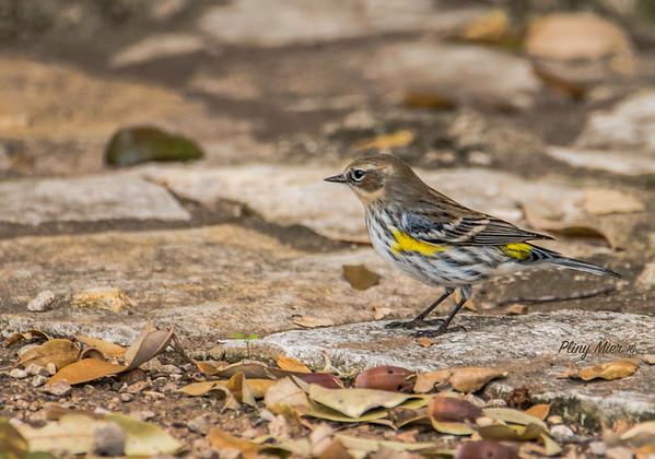 Yellow-rumped Warbler Myrtle_DWL8047.jpg