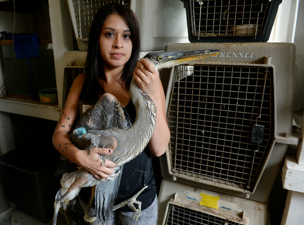 . DENVER, CO - JULY 30:  Wild B.I.R.D. Rehabilitation Center  will be closing it\'s doors, at the 1880 S. Quebec Way location, on September 1, 2014. They have cared for thousands of  sick, injured or abandoned birds.  Morgan Sandoval a provisional wildlife rehabilitator  holds a Great Blue Huron, recovering from a long bone fracture in a wing on  Wednesday, July 30, 2014.  The huron will be released when the pin comes out of it\'s wing. They are closing because it is neither sustainable, nor properly zoned for the organization�s needs. They are fund raising to open at a new location in Wheat Ridge. (Denver Post Photo by Cyrus McCrimmon)