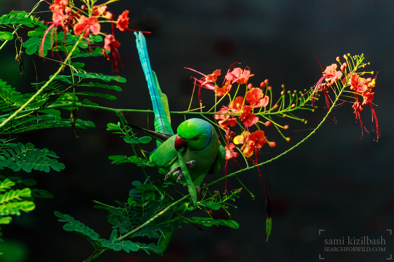 Rose-ringed Parakeet 4.jpg