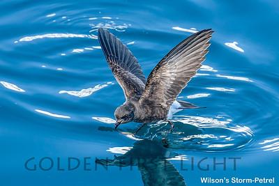 Wilson's Storm-Petrel, Antarctica