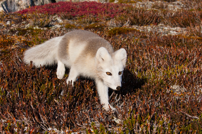 Arctic Fox, Stalking