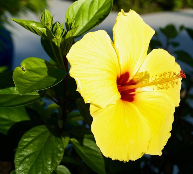 One Yellow Hibiscus_Sanibel Island FL.jpg