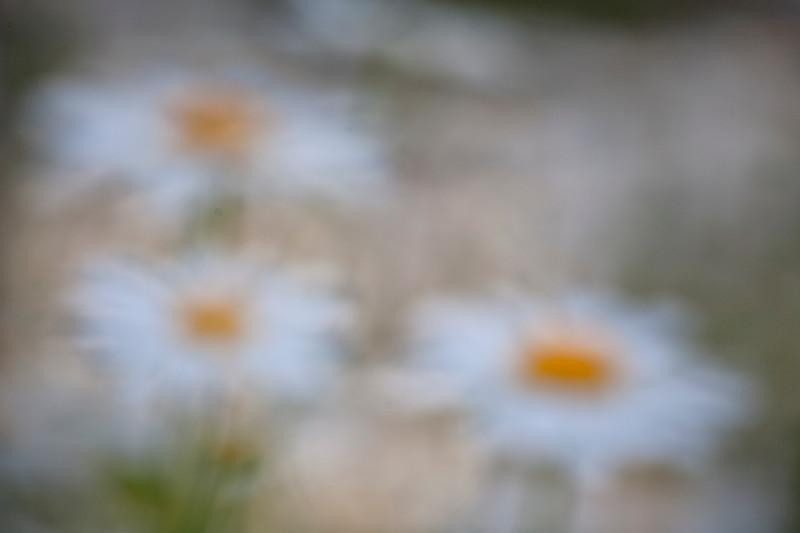 _daisy blur.jpg