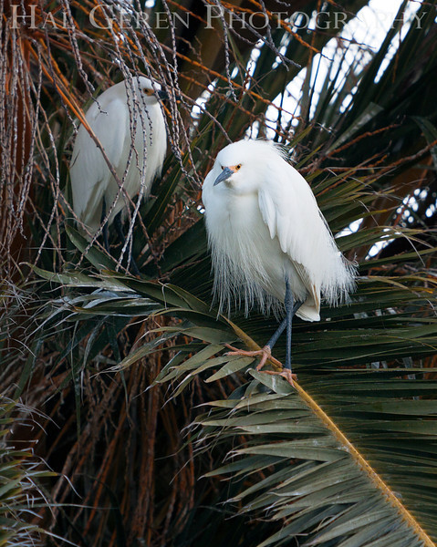Snowy Egret Newark, California 1304N-SE2