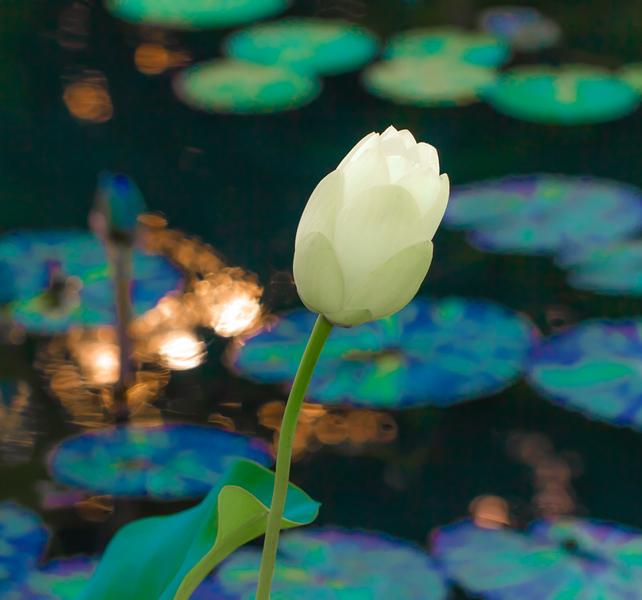 Lily  Pond 12