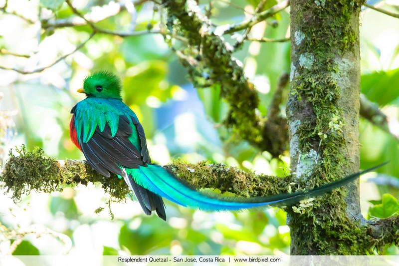Resplendent Quetzal - San Jose, Costa Rica