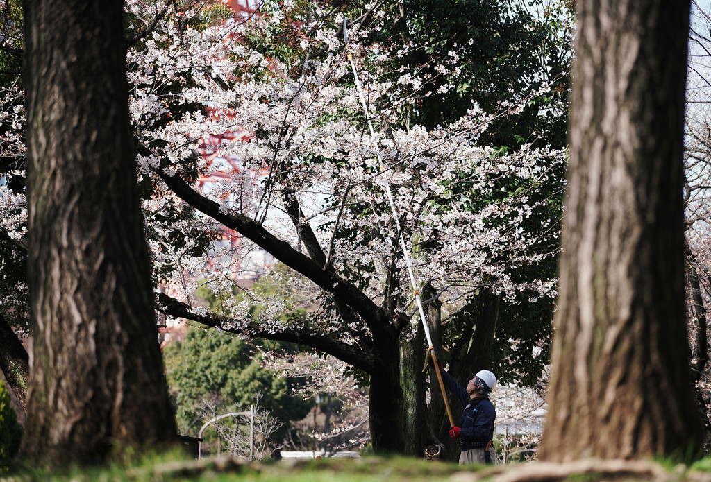 . A worker prunes cherry trees at a park in Tokyo Thursday, March 22, 2018. The cherry blossom season marks the arrival of spring for the Japanese. (AP Photo/Eugene Hoshiko)